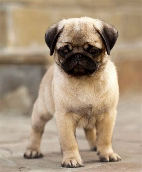 how to care for a pug puppy pug puppy