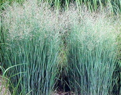 Perennial Climbing Plants With Flowers - green value nursery perennials ornamental grasses panicum virgatum heavy metal