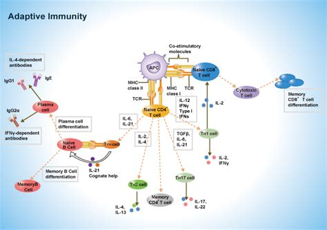 induction phase of the immune response begins when induction phase of the immune response begins when 28 images alyseq human immune response