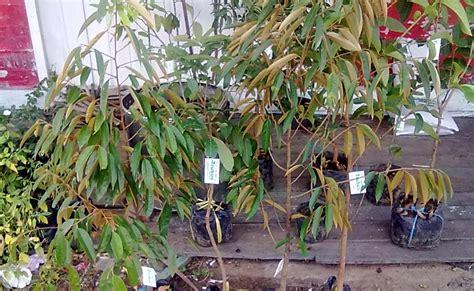 Bibit Mangga Chokanan Trubus sarana pertanian perkebunan pupuk organik serta obat