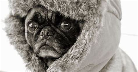 im a pug im cold baby it s cold outside its cold babies and pug