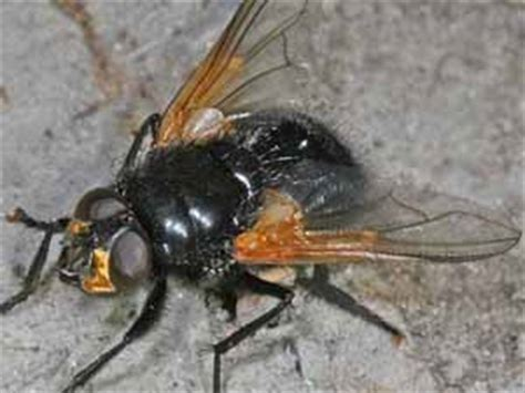 grote zwarte vliegen in huis hout beton schutting 2018