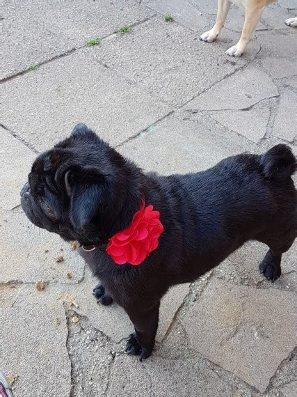 pugs for sale chelmsford pug for sale chelmsford essex pets4homes