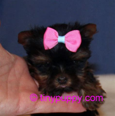weaning yorkie puppies micro yorkie puppy penelope tinypuppy