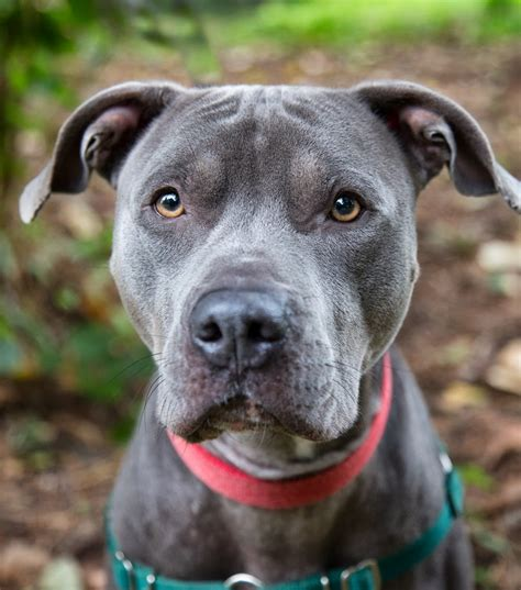 Soflens New Look Playful Blue shelter dogs of portland quot jax quot playful blue white pitbull