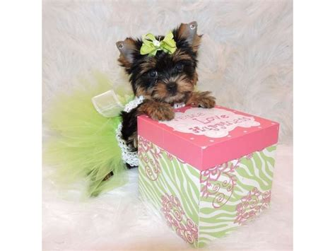 yorkie puppies for sale in south dakota terrier t cup yorkie puppies for adoption animals aberdeen south