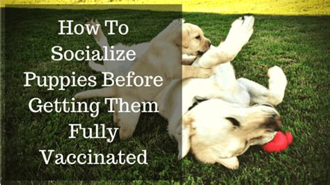 i took my puppy outside before vaccinations how to safely socialize puppies before getting all their