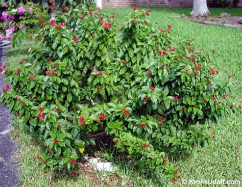 Evergreen Shrub With Pink Flowers - jatropha integerrima jatropha pandurata spicy jatropha coral plant peregrina physic nut