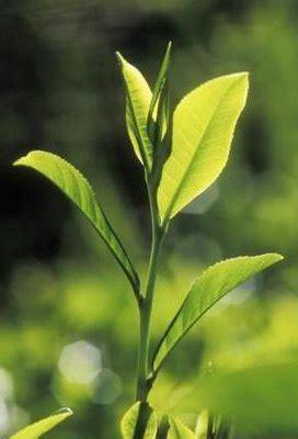 Teh Hijau Cap Daun mudah dan murah merawat wajah dengan daun teh