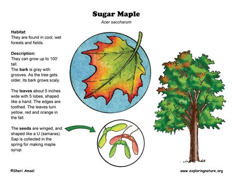 maple tree lifespan maple tree root system diagram images