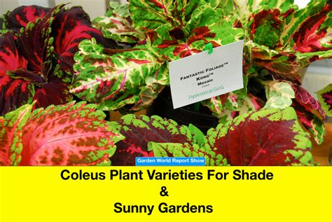coleus plant varieties for shaded and sunny gardens garden center tv