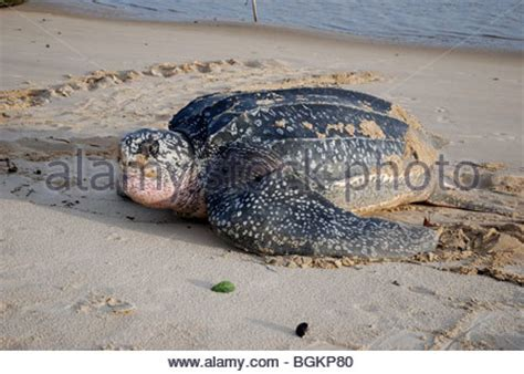 The Tortoise Will Lay Eggs Mainan Anak Limited leatherback turtle after laying eggs coming back sea with a black boy stock photo royalty free