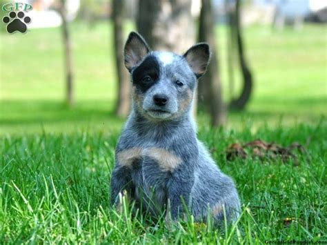 blue heeler dogs blue heeler australian cattle puppies for sale in pa