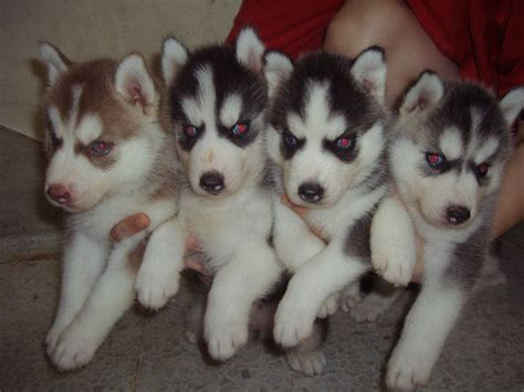 raising a husky puppy gorgeous siberian husky puppies available for care for all pets prlog