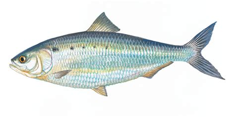 Fish L by Scdnr Fish Species American Shad