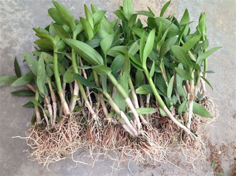 Orchid Plant by Orchid Plant Den Boota Blue Buy Orchids Dendrobium Pot