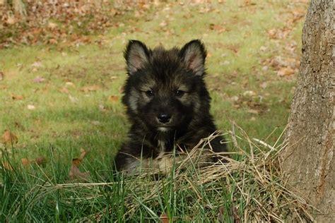 tamaskan puppies for sale tamaskan puppies tamaskan puppies for sale tamaskan breeder gallery