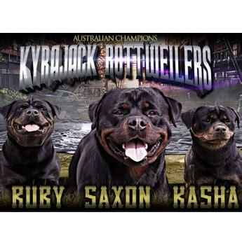 rottweiler breeders qld kyrajack rottweiler breeder bundaberg qld