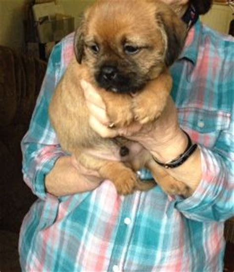 shih tzu x border terrier border terrier x shih tzu breeds picture