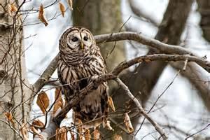 owl tree barred owls stephen l tabone nature photography