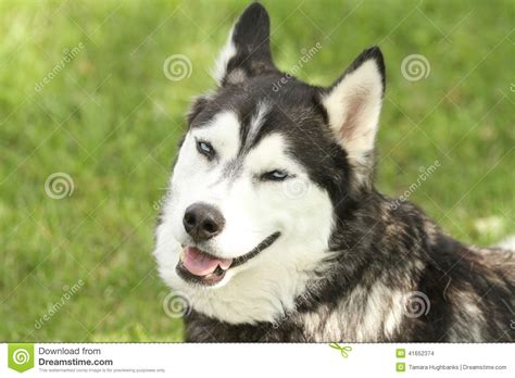Outdoor Shelter Plans Siberian Husky With Smirking Face Stock Photo Image