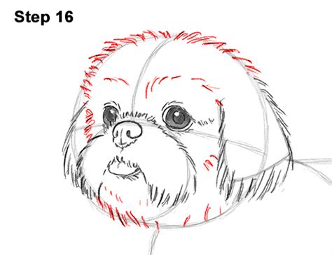 how to draw a shih tzu the gallery for gt zebra