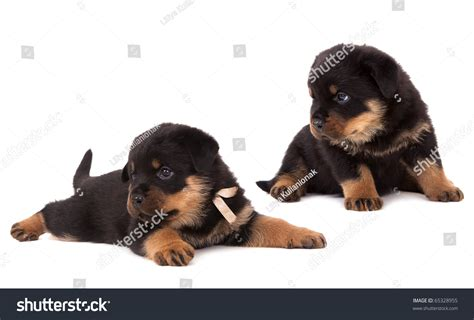 rottweiler 1 month rottweiler puppy 3 months standing in front of white background breeds picture