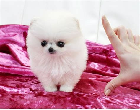 baby pomeranians for adoption baby teacup pomeranians