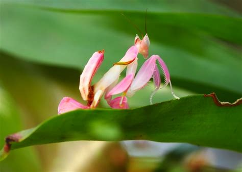 praying mantis change color the orchid mantis a beautiful but deadly master of
