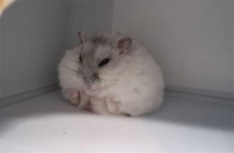 Cute Russian White Dwarf Hamster 5 300x225 Hamsters