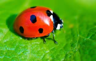 ladybird facts for kids national geographic kids