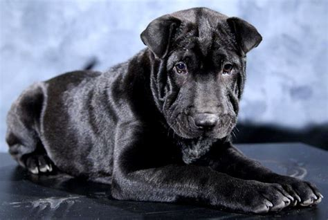 shar pei puppies for sale in ohio shar pei puppies in dayton for sale no more esrati