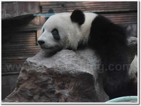 Panda House by Beijing Panda House Beijing Zoo