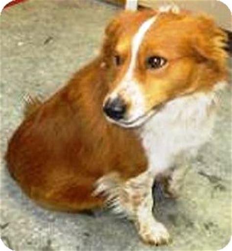 corgi golden retriever mix adoption pembroke corgis dogs winnie breeds picture