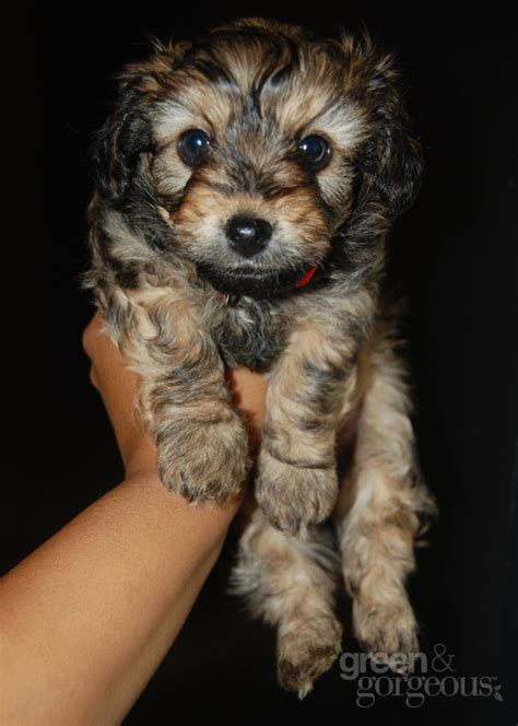yorkie pitbull mix grown the gallery for gt chocolate yorkie poo