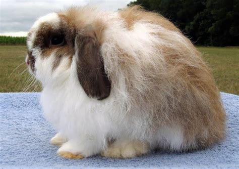 Kelinci Lop bahas lengkap mengenai kelinci lop