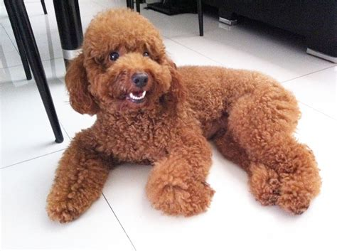 brown poodle puppy white poodle puppy breeds picture