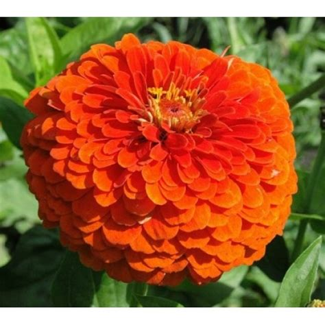 bibit bunga zinnia orange king
