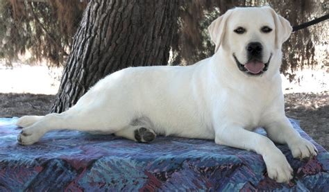 white lab puppies white labrador retriever puppies white lab puppies white