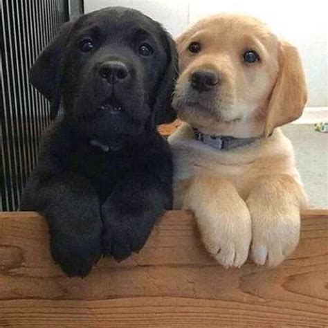 best age to a puppy 17 best ideas about black lab puppies on black labrador lab puppies and dogs