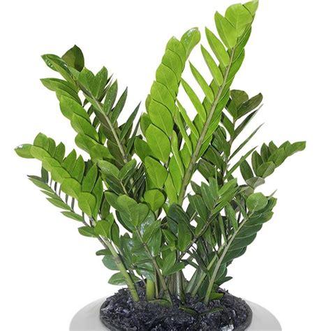 www piante da appartamento zamia zamioculcas zamioculcas piante da interno