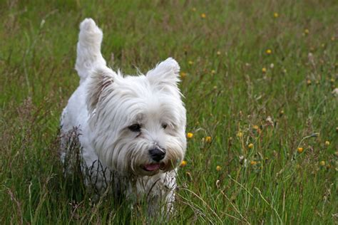 pictures of westie puppies westie free stock photo domain pictures