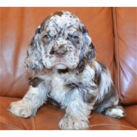 cocker spaniel puppies for sale mn akc chocolate merle cocker spaniel puppy for sale