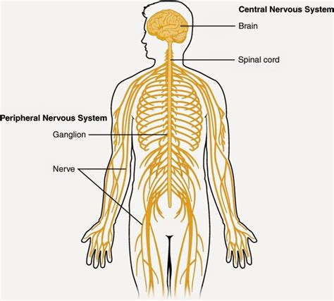 nerves of the human diagram diagrams of the nervous system diagram site