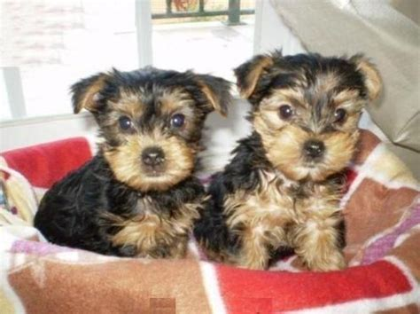 yorkie puppies for sale in albuquerque 1000 ideas about yorkie puppies for adoption on yorkie puppies teacup