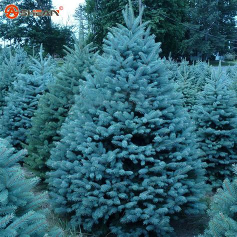 colorado blue spruce trees buy online at nature hills online buy grosir mini pohon from china mini pohon penjual