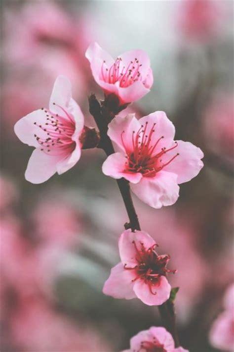 imagenes flores de cerezo m 225 s de 25 ideas incre 237 bles sobre flores de cerezo tattoo