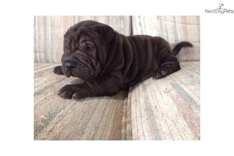 shar pei puppies for sale near me 4 shar pei puppy for sale near space coast florida 125431c0 0481