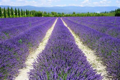 wann blüht der lavendel in frankreich lavendelbl 252 te in der provence