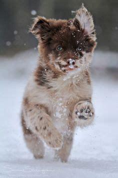tibetan spaniel x pomeranian heartwarming pets on 296 pins